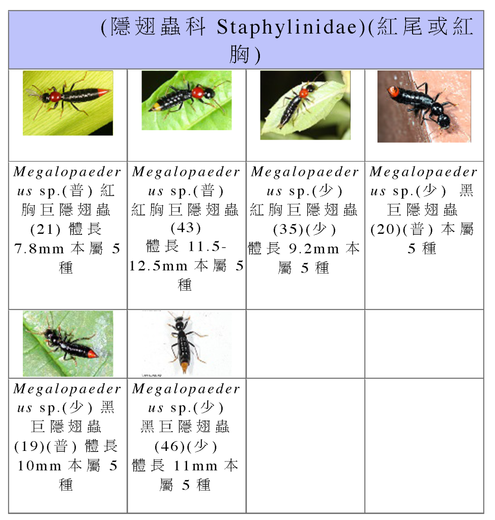Staphylinidae-03.png