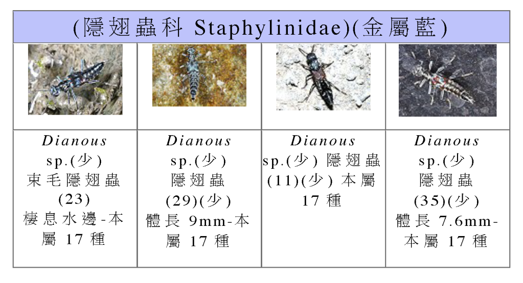 Staphylinidae-04.png