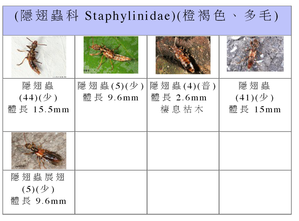 Staphylinidae-02.png