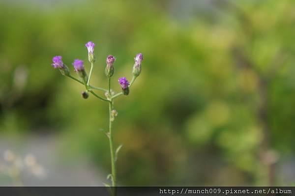 一枝香與紫背草0002.JPG