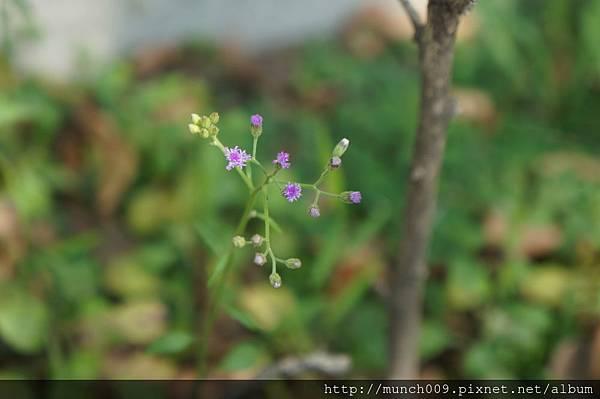 一枝香與紫背草0003.JPG