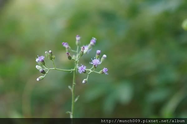 一枝香與紫背草0005.JPG