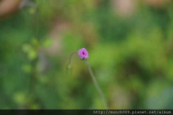 一枝香與紫背草0011.JPG
