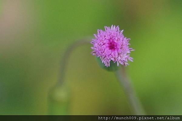 一枝香與紫背草0012.JPG