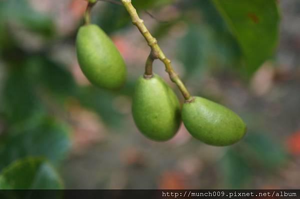 錫蘭橄欖果0001.JPG