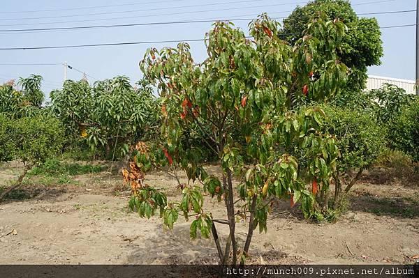 錫蘭橄欖果0002.JPG