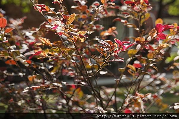 紅花檵木0002.JPG