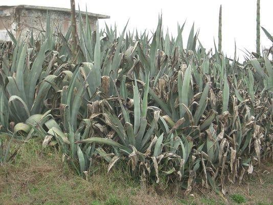 澎湖到處可見的不知名植物
