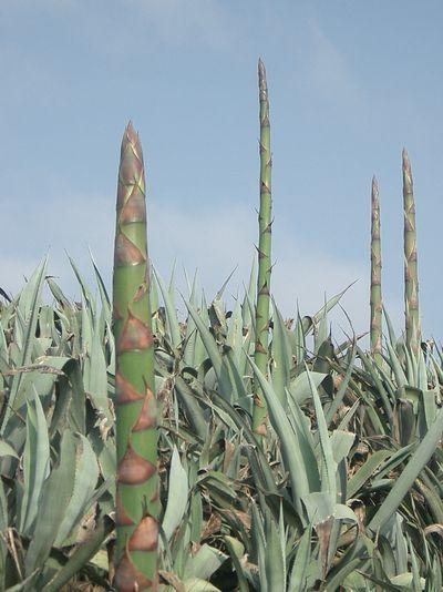 高大蘆筍形植物