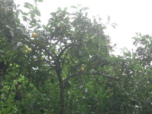 結實纍纍的桃子