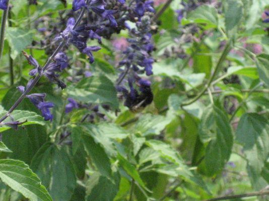 採蜜虎頭蜂