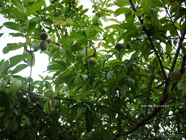 桃樹.JPG