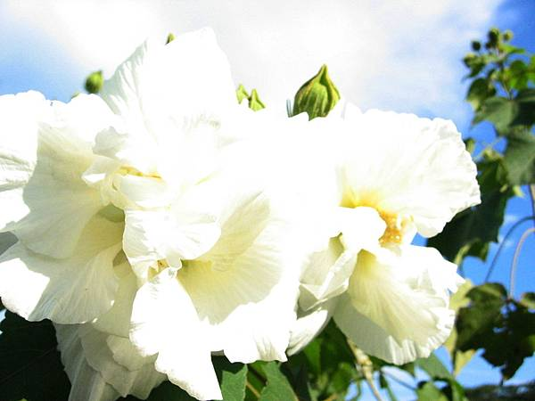 潔白的花瓣