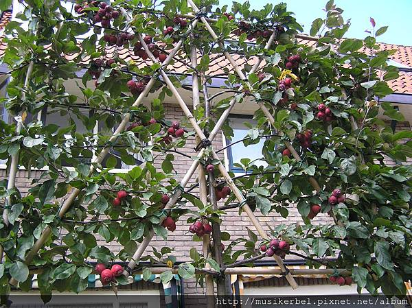 這樣種果樹