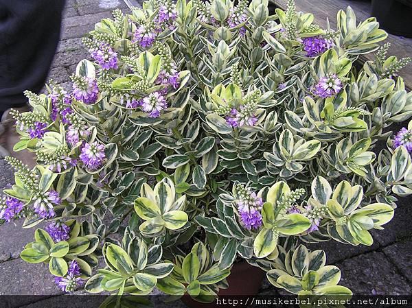 開著紫花的植物