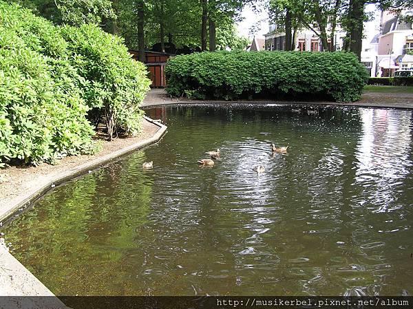 鴨子在水裡