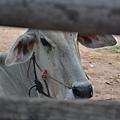 柬埔寨都是白牛,而且身材很好,瘦到都會看到兩排肋骨.JPG