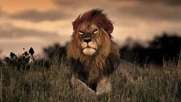 long-lions-live-wild_31e3e9a8e5d47d54