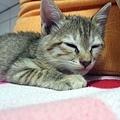 小貓被我哥學長撿到
