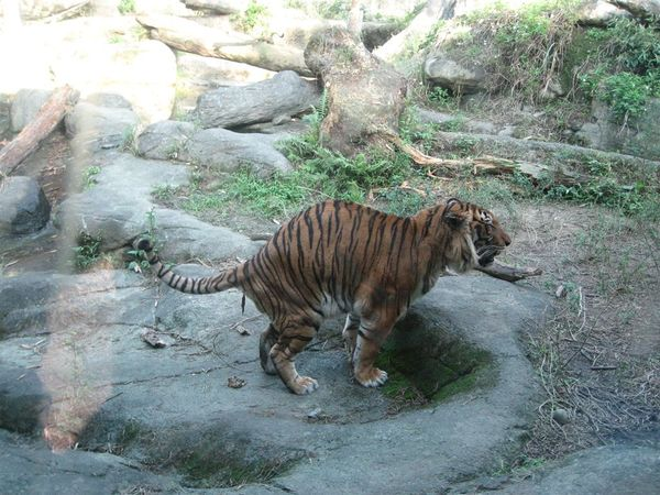 老虎在大便 >___<||||