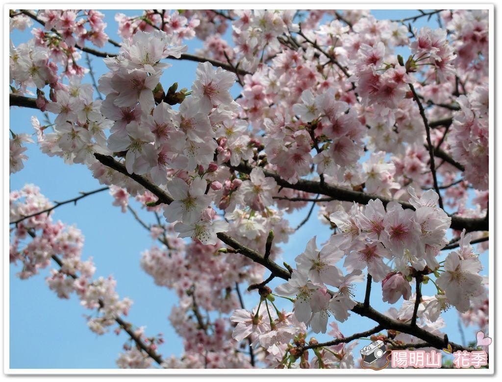 陽明山花季IMG_2557