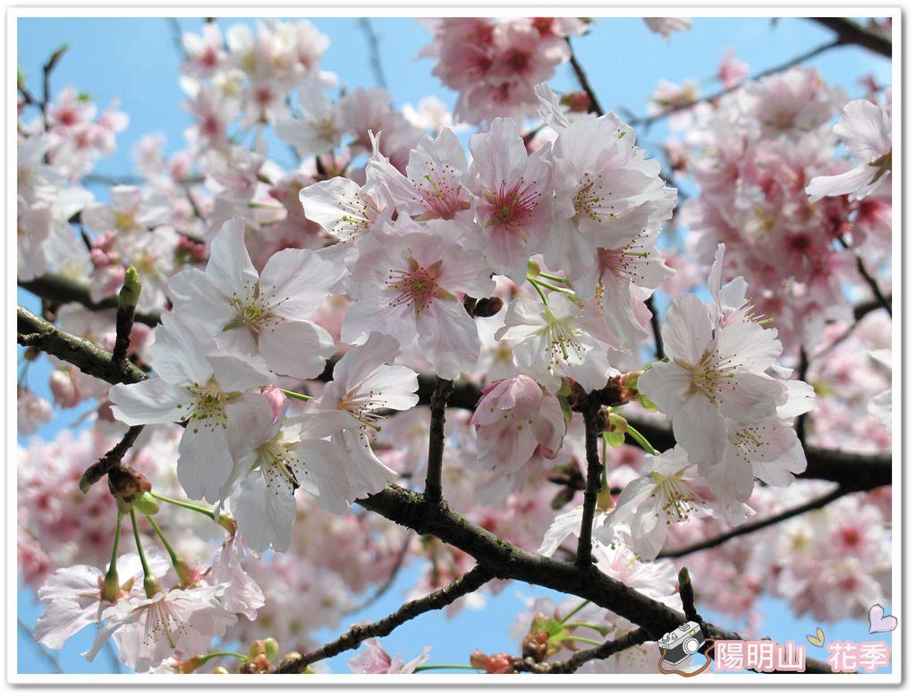 陽明山花季IMG_2558