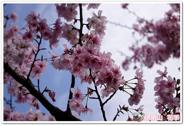 陽明山花季IMGP7088