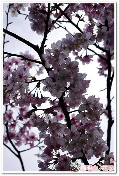 陽明山花季IMGP7091