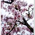 陽明山花季IMGP7096