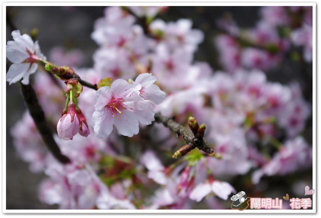 陽明山花季IMGP7100
