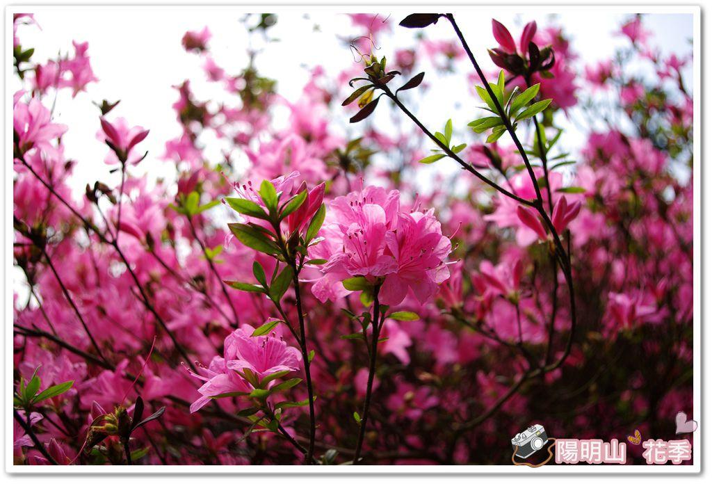 陽明山花季IMGP7104