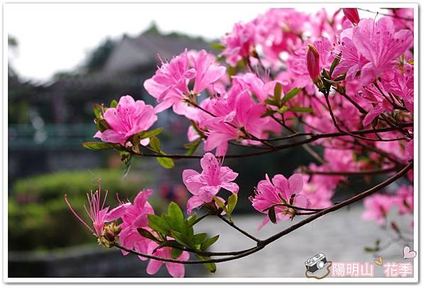 陽明山花季IMGP7105