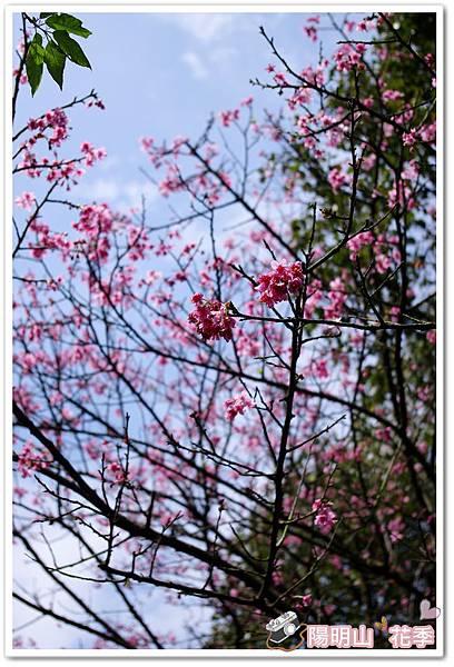 陽明山花季IMGP7130