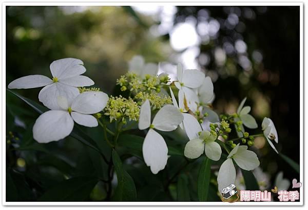 陽明山花季IMGP7137