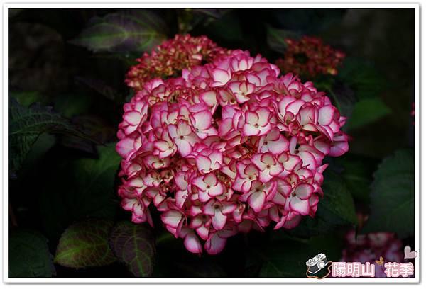 陽明山花季IMGP7148