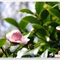 陽明山花季IMGP7156
