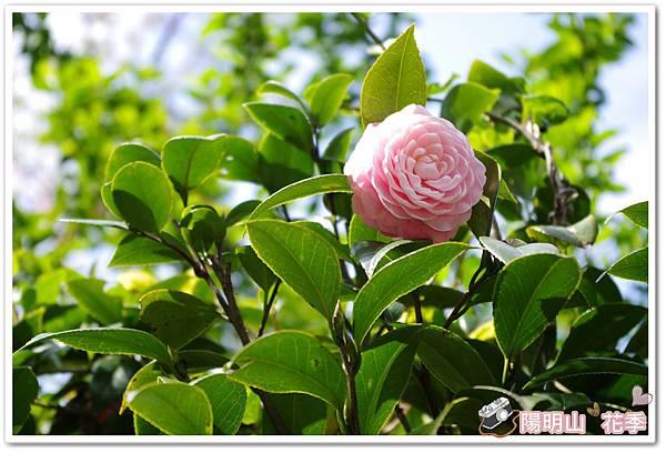 陽明山花季IMGP7157