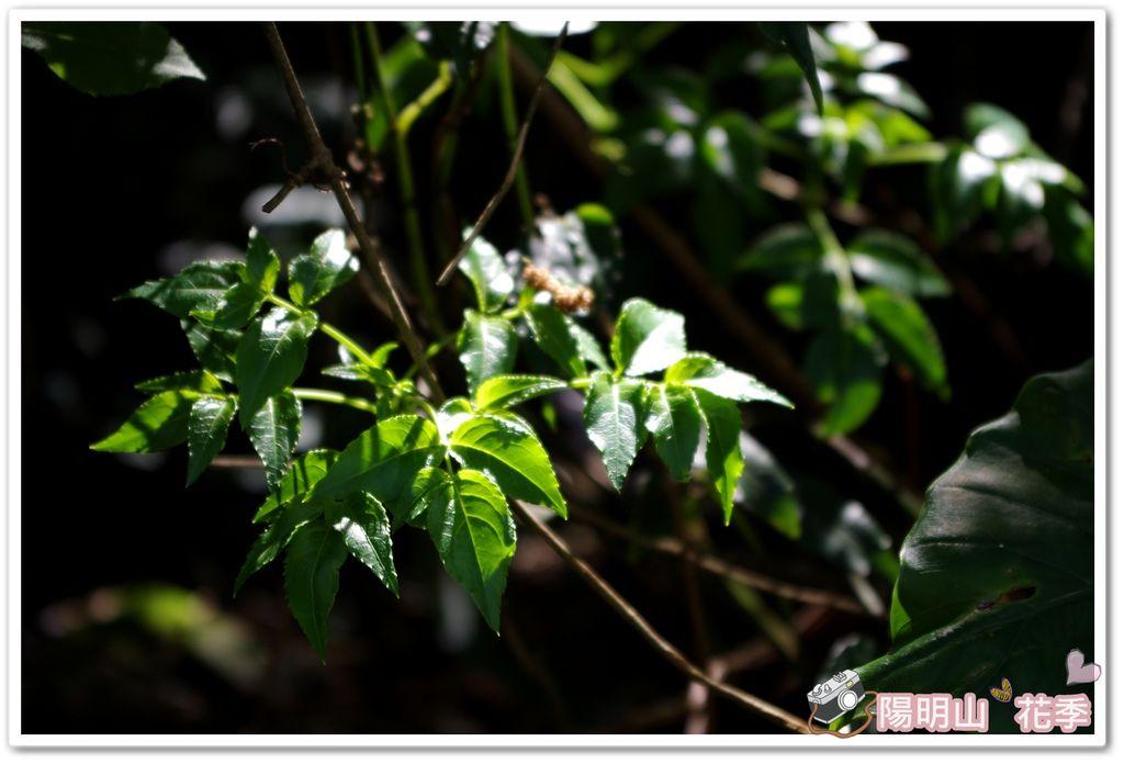 陽明山花季IMGP7168