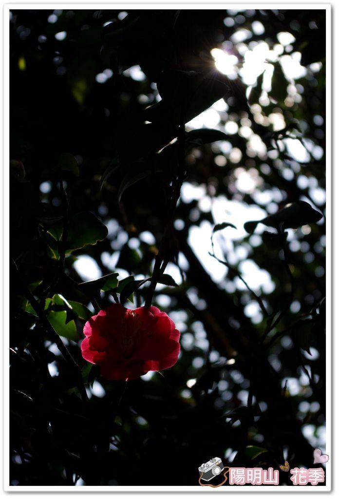 陽明山花季IMGP7172