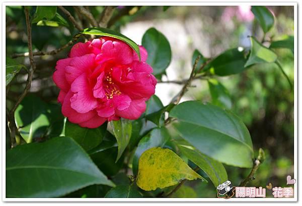 陽明山花季IMGP7225