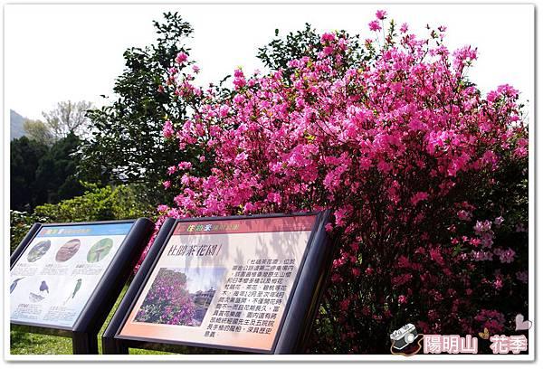 陽明山花季IMGP7231