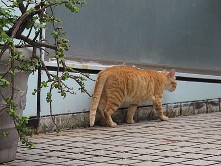 20110506-午後-野橘貓-005.JPG