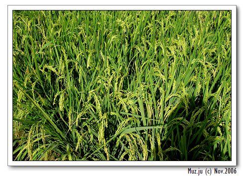 (10) 漂亮的秋季稻.jpg