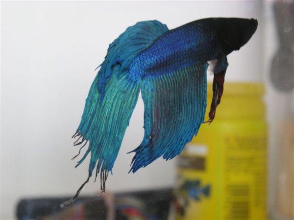 20070521-尾鰭問題 (1).JPG
