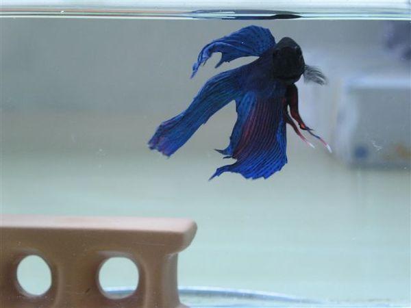 20070526 (19) 梅仔的魚鰭活動就像水袖一樣不好抓拍啊.JPG