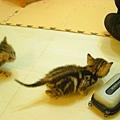 20081214-虎斑小貓三兄弟-01.JPG