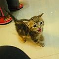 20081214-虎斑小貓三兄弟-04.JPG