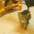 20081214-虎斑小貓三兄弟-06.JPG
