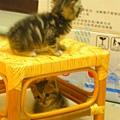 20081214-虎斑小貓三兄弟-07.JPG