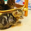 20081214-虎斑小貓三兄弟-09.JPG